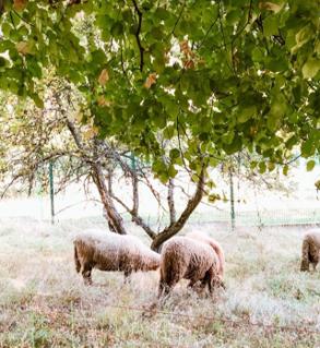 Les moutons broutent l'herbe